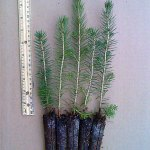 norway spruce plug seedlings for sale