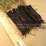 austrian pine plug seedlings for sale