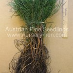 austrian pine seedlings for sale