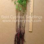 Bald Cypress seedlings for sale