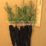 balsam fir plug seedlings for sale