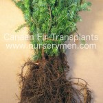 evergreen trees for sale - concolor fir transplants