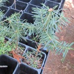 Balsam Fir plug transplants - conservation grade 02
