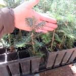 Fraser Fir plug transplants - conservation grade 06