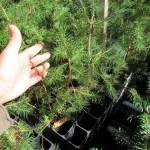 Norway Spruce plug transplants - conservation grade 02