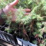 Norway Spruce plug transplants - conservation grade 04