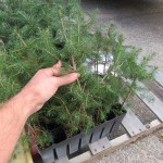 Norway Spruce plug transplants - conservation grade 05