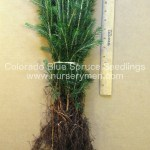colorado blue spruce evergreen seedlings