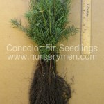 concolor fir evergreen seedlings