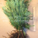 douglas fir transplants for sale