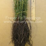 fraser fir seedlings for sale