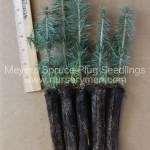 Meyers Spruce plug seedlings