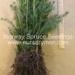 norway spruce evergreen seedlings