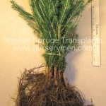 norway spruce transplants for sale