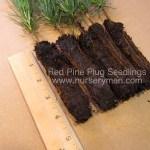Red Pine plug seedlings for sale