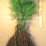 bare root eastern white pine transplants for sale