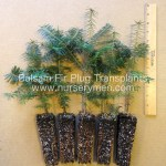 balsam fir plug transplants for sale
