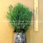 eastern red cedar plug seedlings for sale