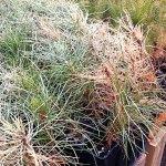 Winterburn of red pine seedlings