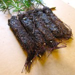 canaan fir plug seedlings, root plug closeup