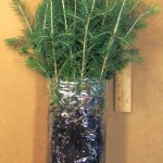 colorado blue spruce plug seedlings for sale, bundle of 25 shown