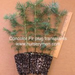 concolor fir plug transplants 5 pack