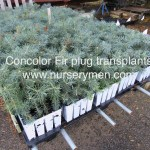 concolor fir plug transplants on growing platform