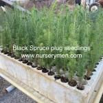 Black Spruce plug seedlings photo 1
