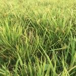 Mengatasi Kerdil Rumput Pada Tanaman Padi
