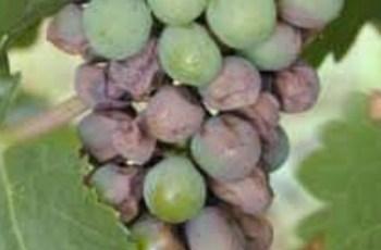 Anggur Black rot