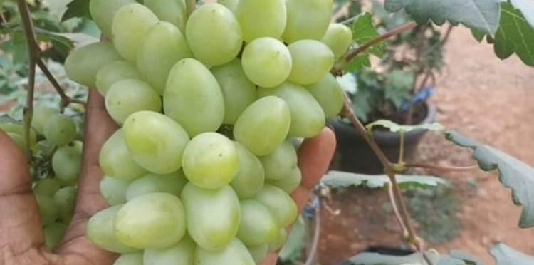 panen anggur