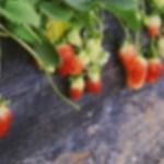 Fungisida Ini Terbukti Banyak Dipakai Pada Tanaman Strawberry