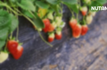 Fungisida Tiflo Pada Strawberi