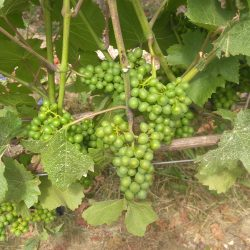 Grape thinning - Clearance of grapes