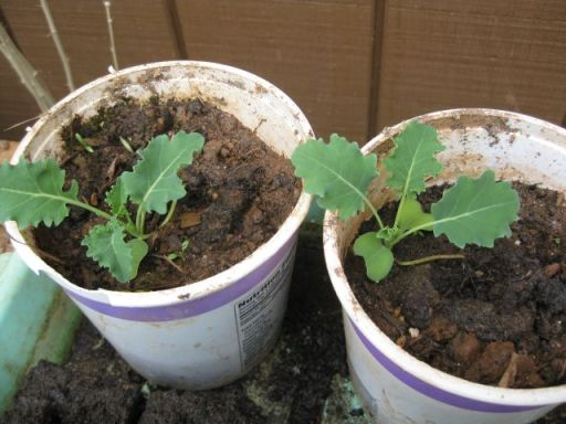 similarly sized seedlings a month later alternatively in horse manure and compost