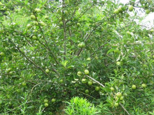 the Pristine apple tree - it had a lot more apples last week