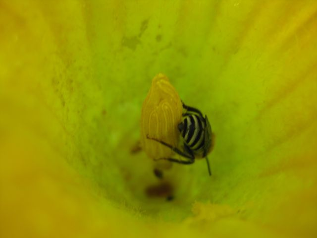 a welcome visitor to a squash flower, most of the pollinating is done by bumble bees, this may be a yellow jacket