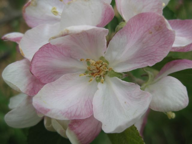 and this apple blossom seems happy too