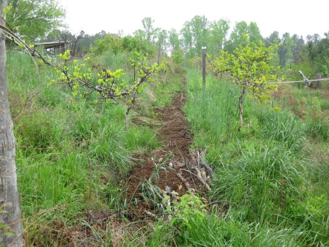 muscadine are hardy, greening well and with long growing horizontal roots seem to do well anywhere in this area