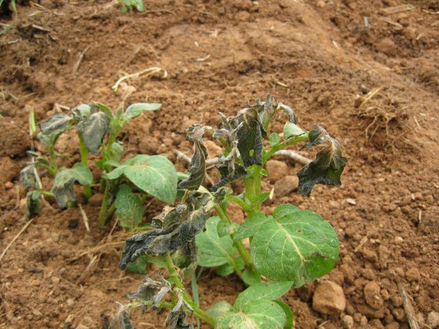 potato plant in trench showing some freeze damage
