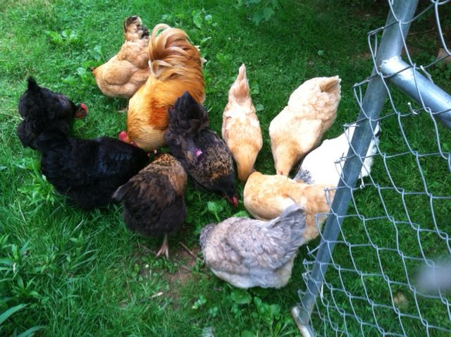 10 hens and a rooster enjoying sunflower seed