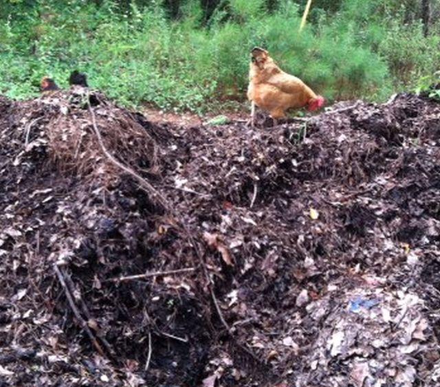 Randa exploring the compost heap