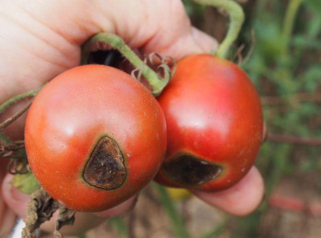 Purple Ukraine tomatoes with black rot disease.