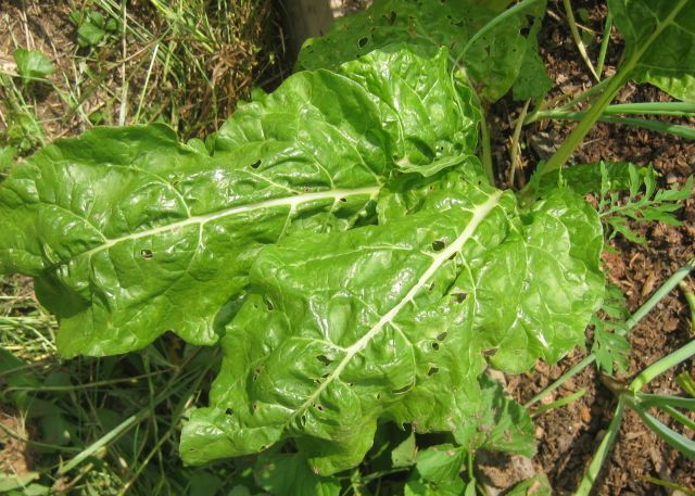 chard tends to grow well throughout the year, tho subject to insect predations
