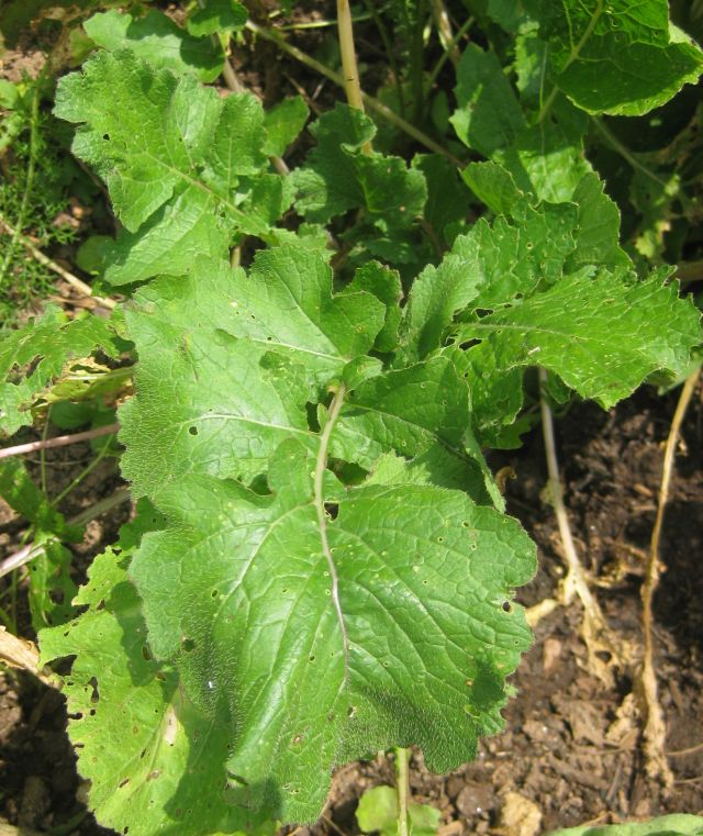 turnip greens are loaded with taste and when sliced and cooked no evidence of prior munchers