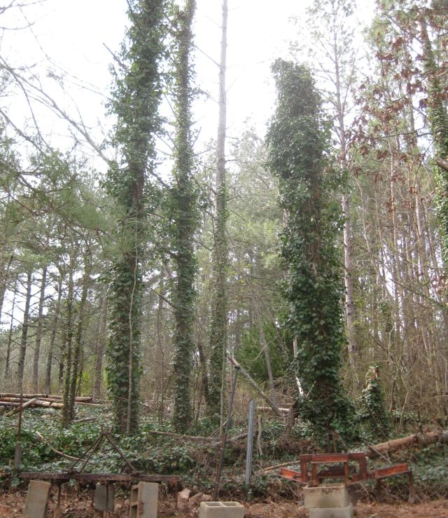 a snap of my neighbor's yard where the pines are strangled by ivy and have succumbed to borers. when they fall into my yard I chainsaw the trunks and add them to my contour ditches