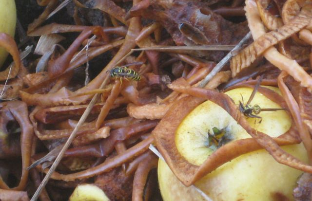discarded apple peels and apples attract many yellow jackets and other wasps