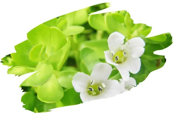 Bacopa Monnieri Herb Helps Manage Anxiety