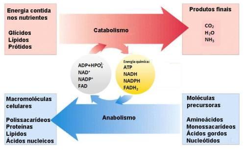 O metabolismo é constituído por dois conjuntos de reações denominados d anabolismo e catabolismo.