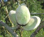almonds plant